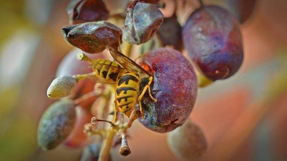 wasps-1780846__340